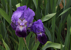 Iris Ancien , Type germanica- Jean Chevreau (Cayeux )???