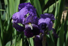 Iris Ancien , Type germanica- Jean Chevreau ( Cayeux )????