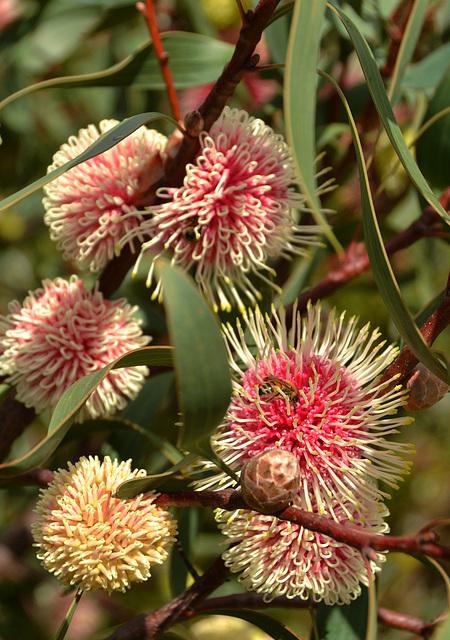 Pincushion hakea