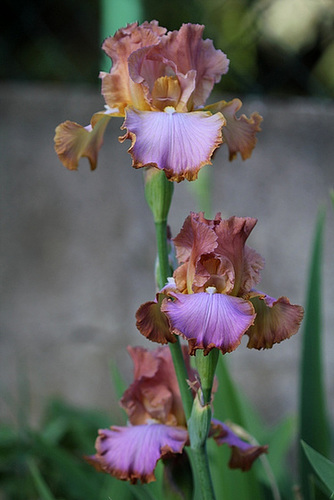 Iris Afternoon Delight