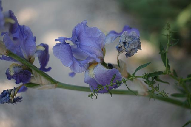 Guirlande d'iris