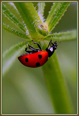 Coccinelle acrobate