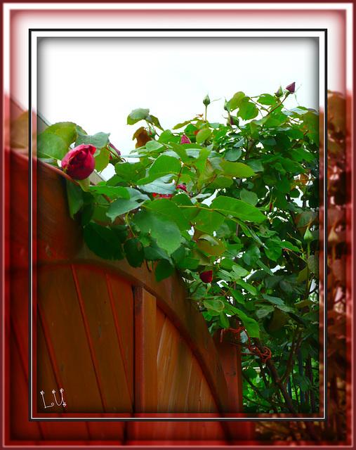 ** Mes premières roses **