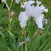Iris blanches
