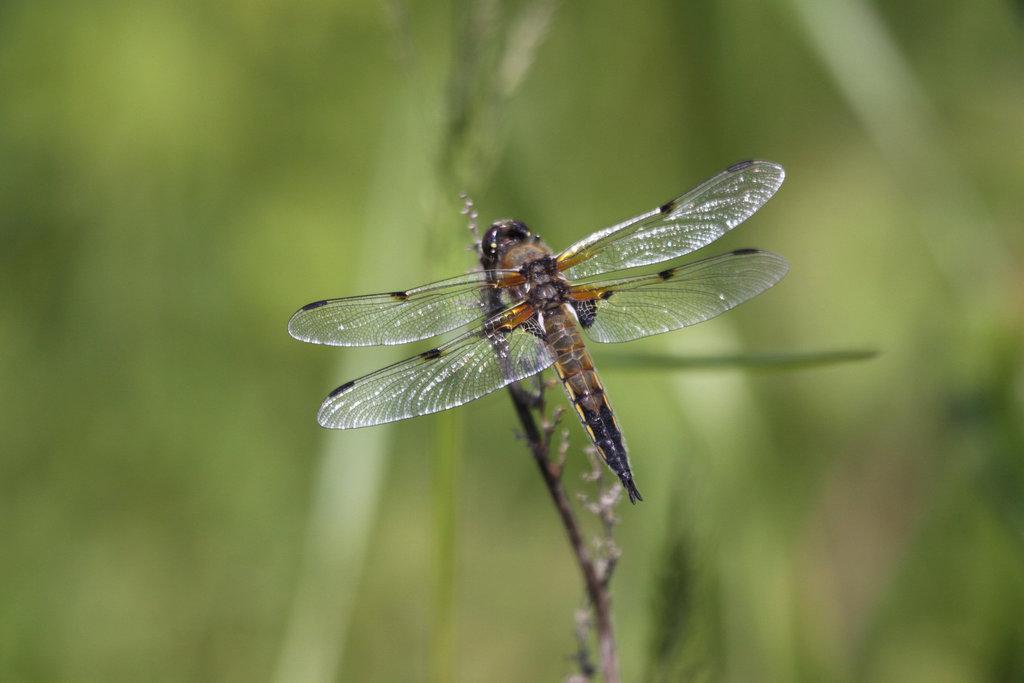 libellule (libellula quadrimaculata)