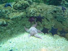 Estrella de mar - Aquarium de Valencia