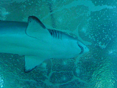 Tiburon - Aquarium de Valencia