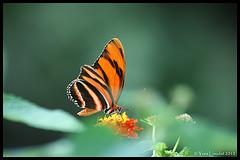 Tigre orange (Dryadula phaetusa)