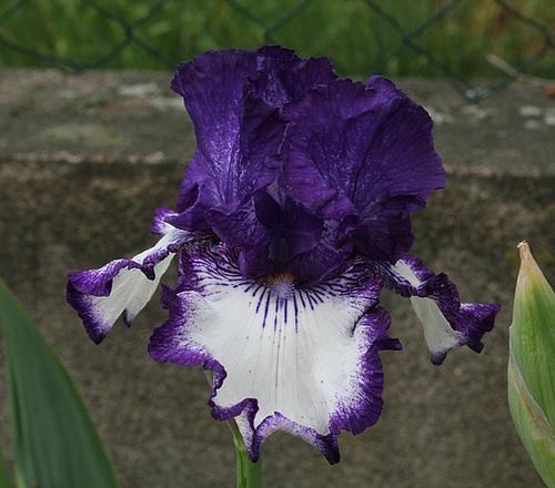 Iris 'Art Deco'