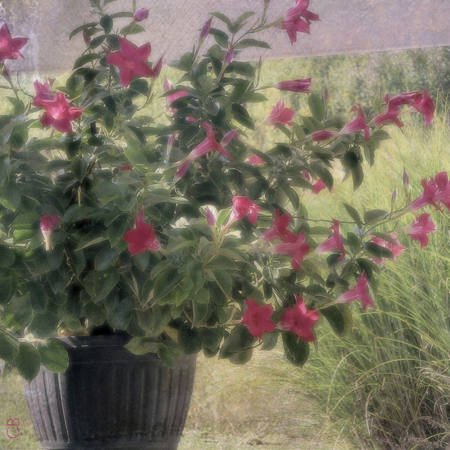 Faded Mandevilla