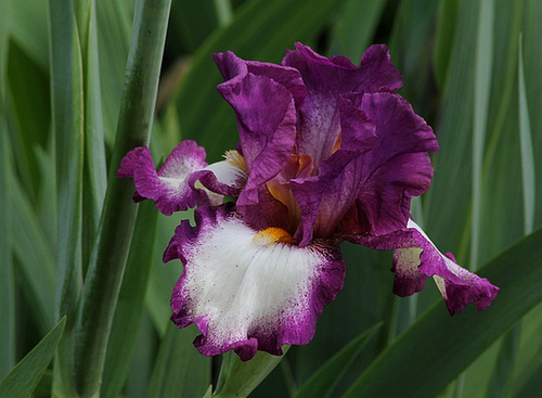 Iris Footlose (5)