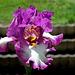 Iris Footlose (8)