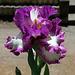 Iris Footlose (9)