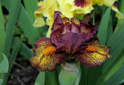 Iris nain 'Firestorm' (4)