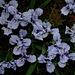 Iris nain 'Sapphire Jewels'