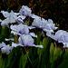 Iris nain 'Sapphire Jewels' (2)