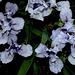 Iris nain 'Sapphire Jewels' (5)