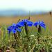 Frühjahrsenzian