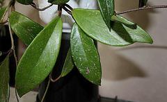 Hoya pubicalix (3)