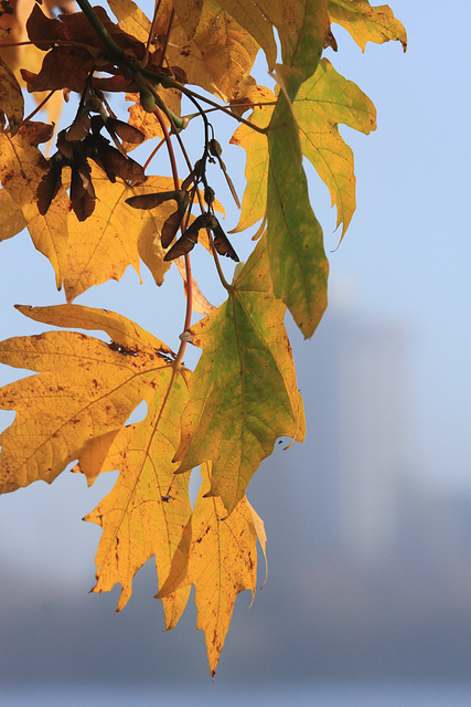 Autumn Leaves and Skyline