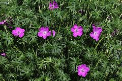 Geranium sanguineum (2)