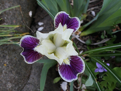 Iris nains (3)
