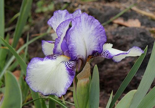 Iris nains (4)