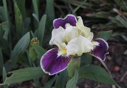Iris nains (9)