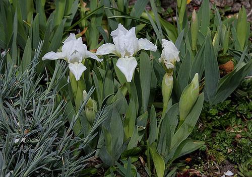 Iris nains (10)