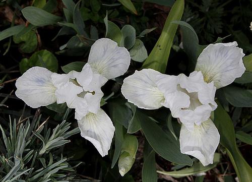 Iris nains (13)