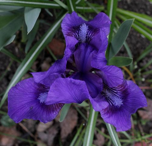 Iris nains (6)