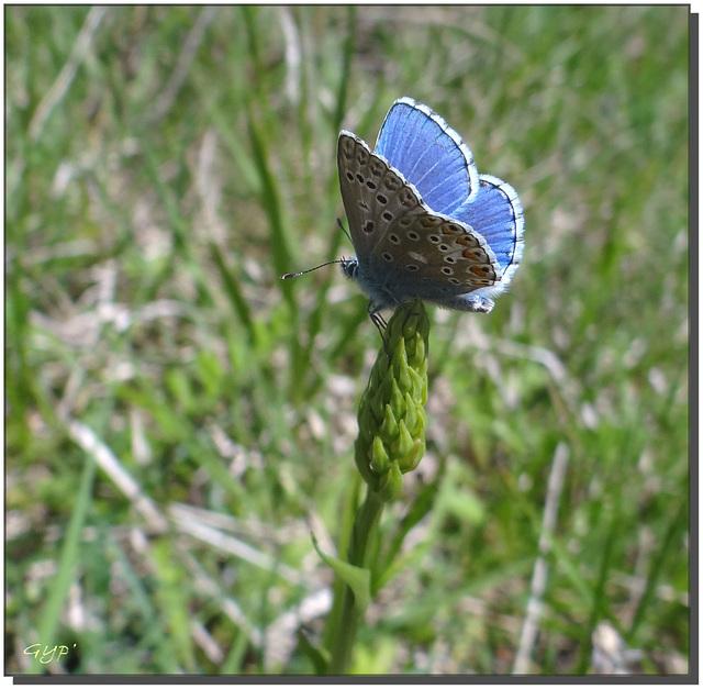 Polyommatus bellargus mâle