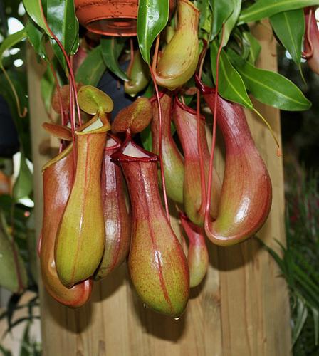 plante carnivore nepenthes x ventrata