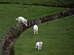 Leaping Sheep
