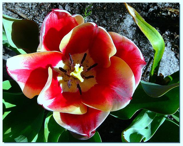 Cette tulipe vient de Lèges (Gironde) prise par Chantal