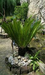 Syca (sycadacées) une variété de palmier (merci Colram ! )