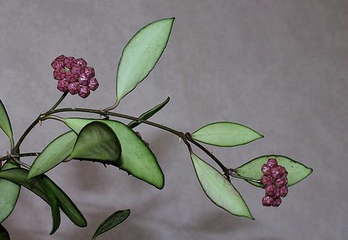 Hoya davidcummingii (3)
