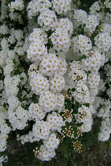 Fleurs blanches dite Spirée