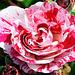 Une rose particulière...