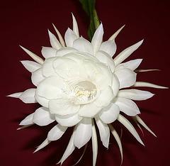 Variété d'Epiphyllum