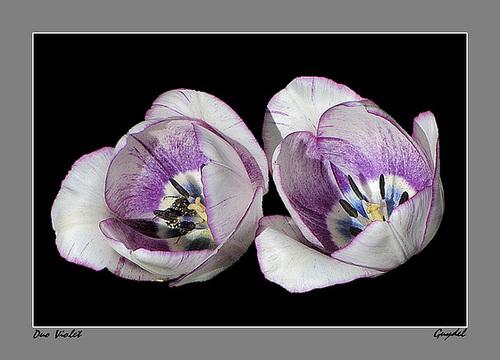 Duo Violet Blanc