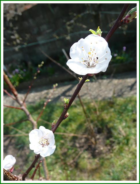 ** Fleurs d'abricotier **