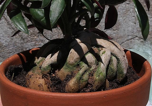 Monadenium montanum ssp rubellum (3)
