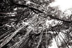 Old trees of Gulangyu