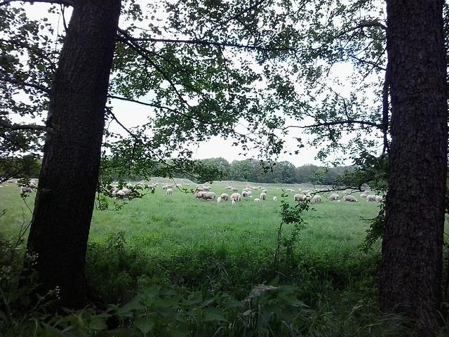 die Schafe etwas näher dran :-)