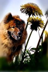 Hunde-Blume