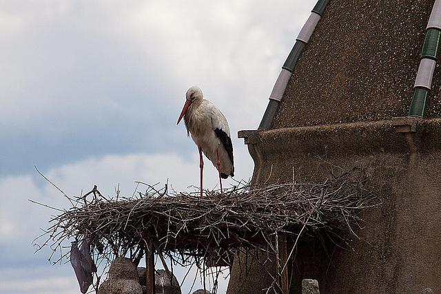 20120506 9036RAw [E] Weißstorch, Alfiler-Turm, Trujillo