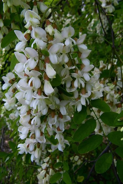 Fleur d'acacia