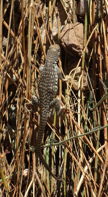 Lizard (2114)