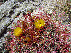 Cactus on the Boy Scout Trail (0769)